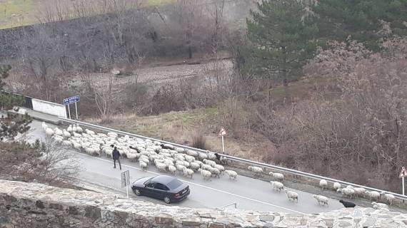 Ovce na cesti kod dvorca